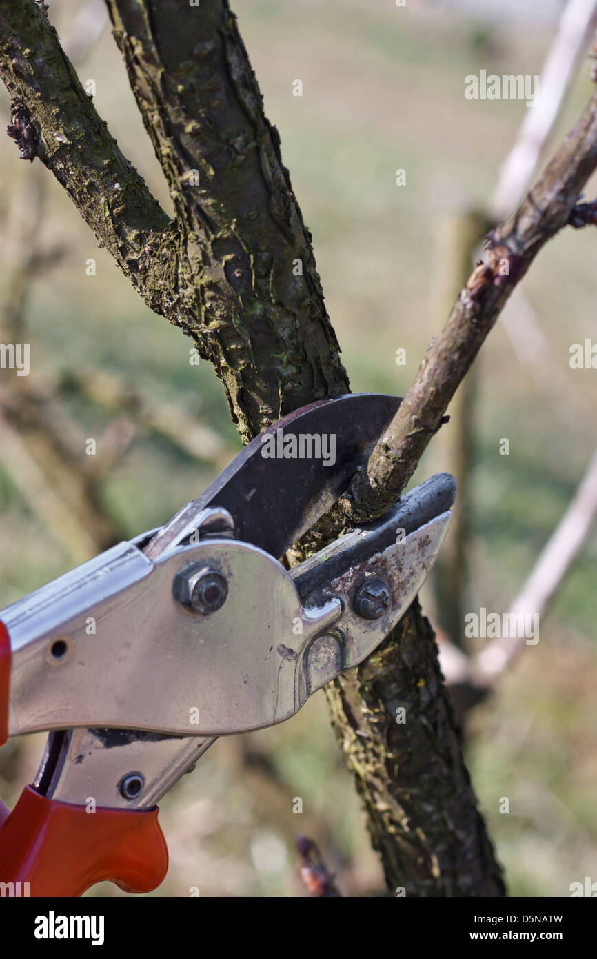 Pruning red currants. Stock Photo