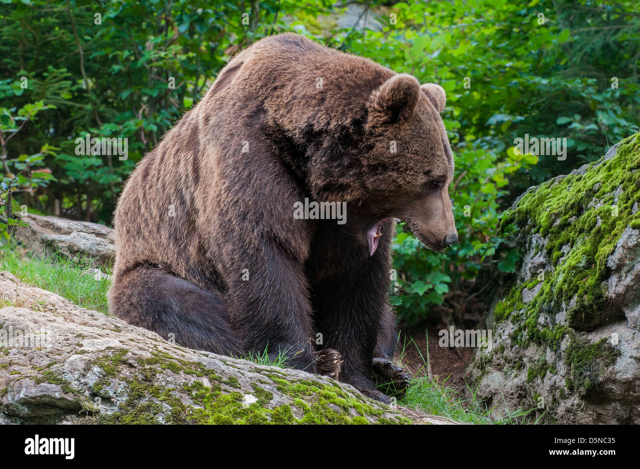 Brown bear photographed in Bayerischer Wald, Germany - Stock Image