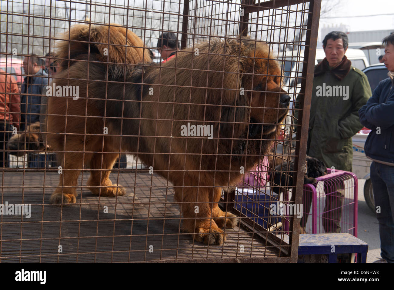 A pure Tibetan Mastiff is on sale at a dog market in Bazhou, Hebei