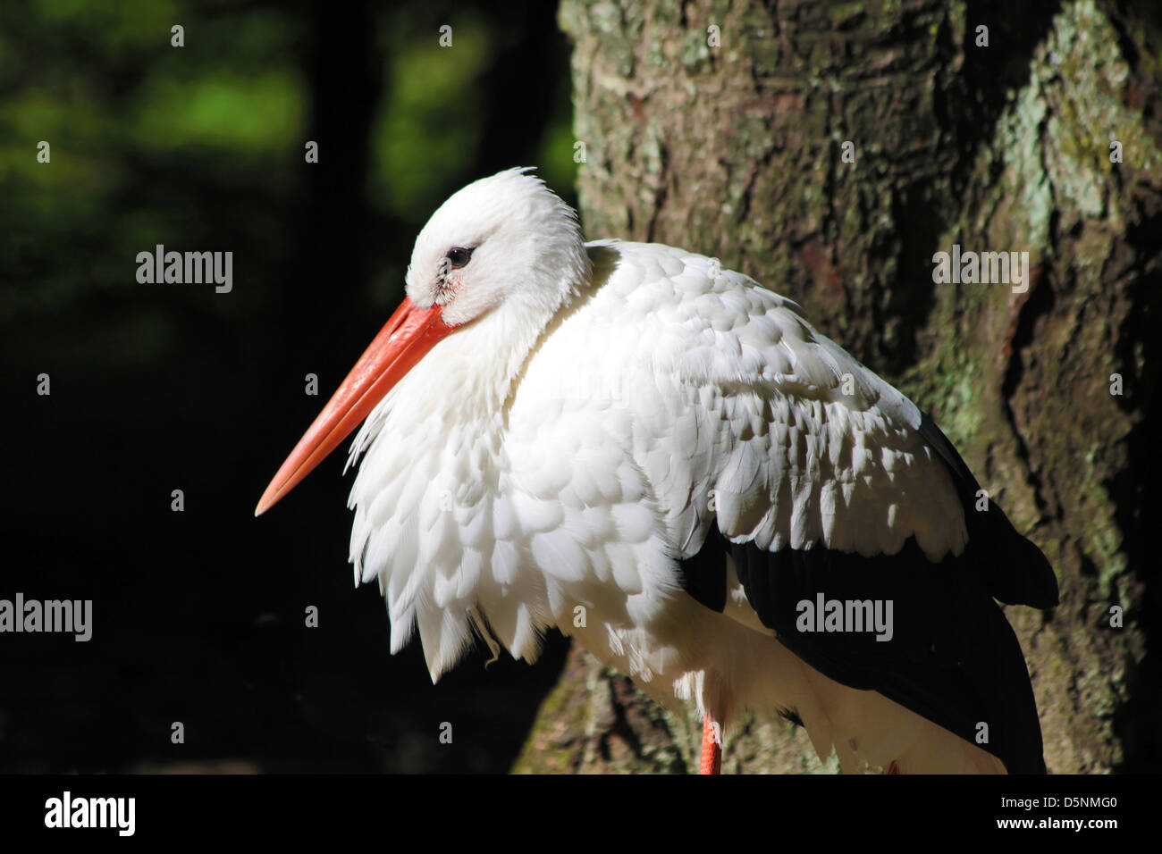 White Stork (Ciconia ciconia) in the Taunus forest - Stock Image