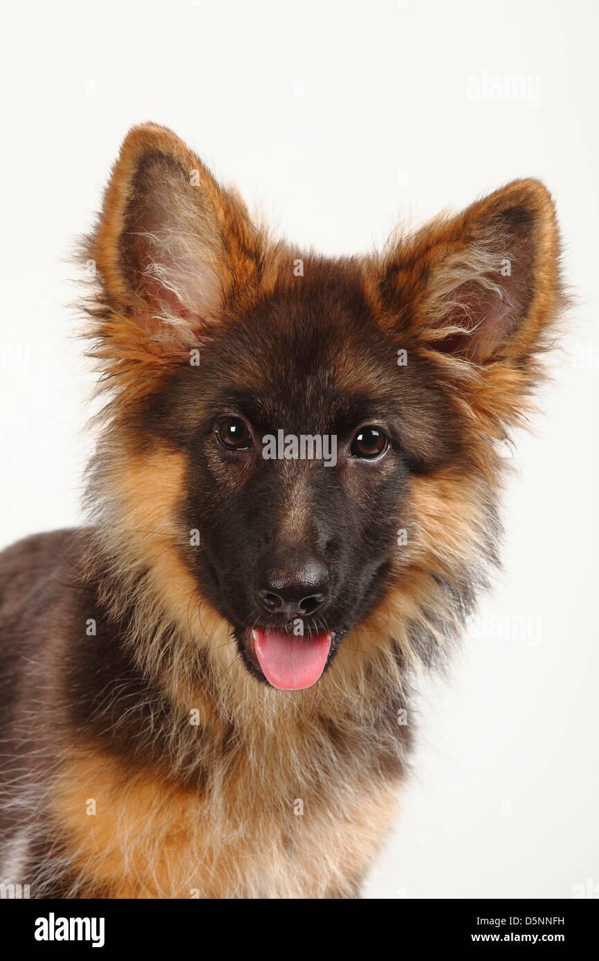 Old German Shepherd Dog, puppy, 4 months / Alsatian - Stock Image