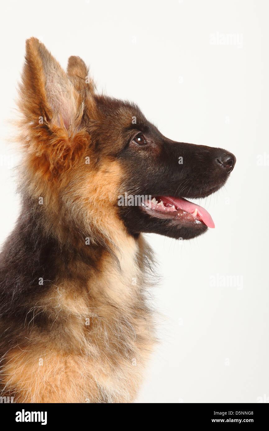 Old German Shepherd Dog, puppy, 4 months / Alsatian, side - Stock Image