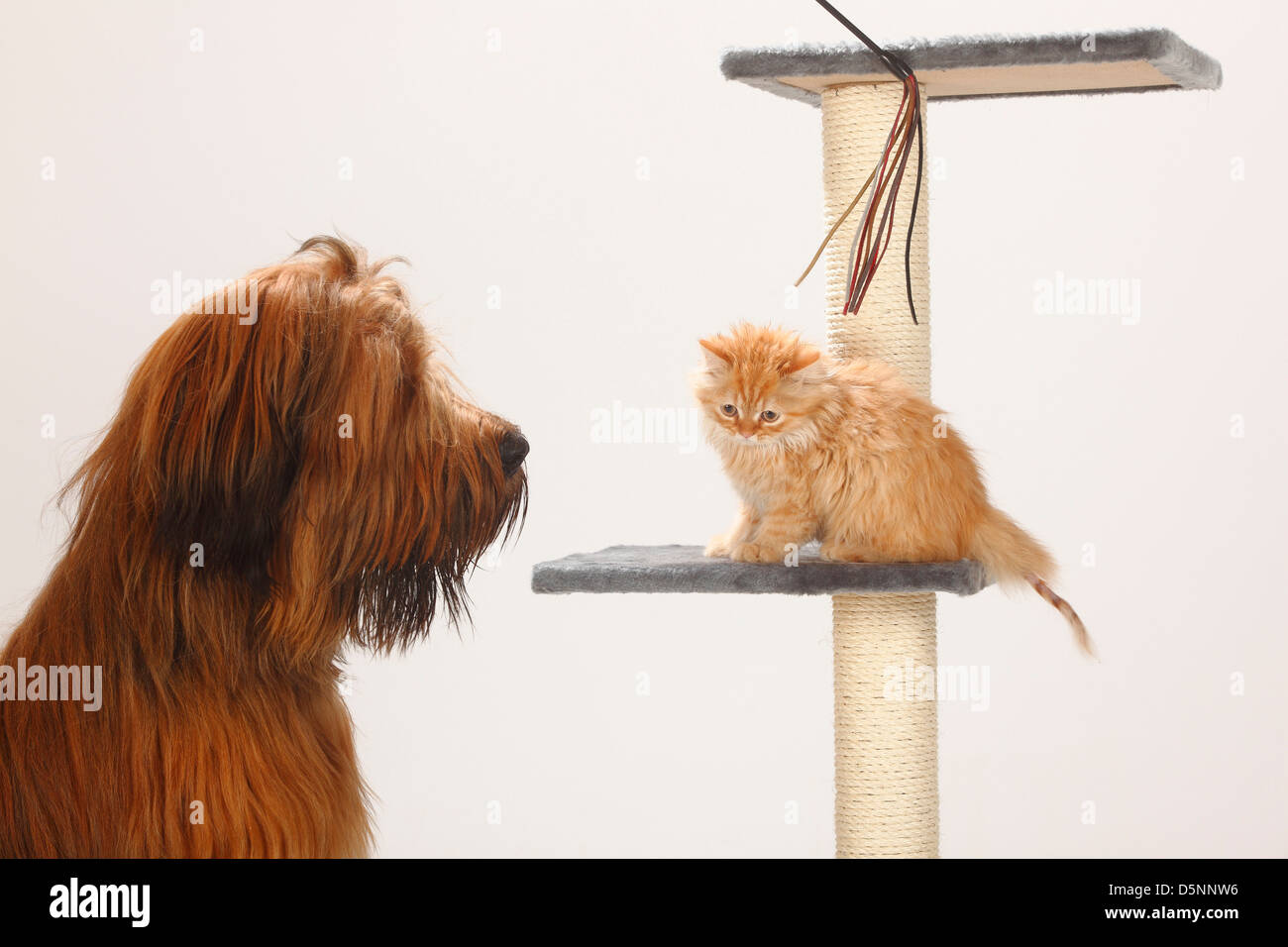 Briard, 1 year, and Domestic Cat, kitten / Berger de Brie, side - Stock Image