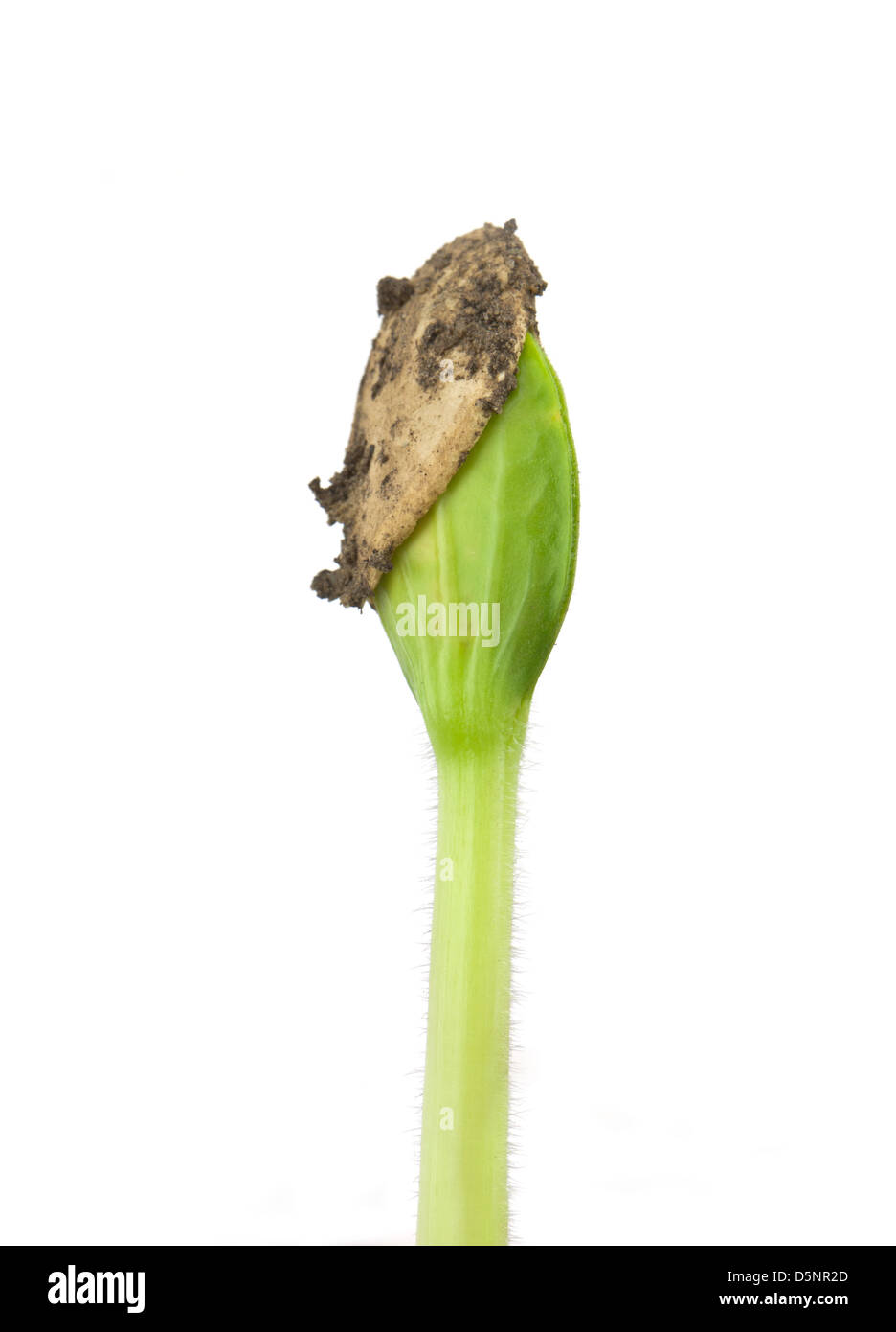 Small pumpkin seedling isolated on white background - Stock Image