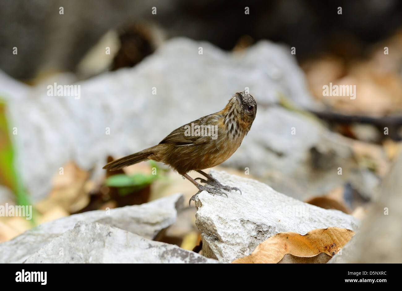 beautiful Limestone Wren Babbler (Napothera crispifrons calcicola) in Thai forest - Stock Image