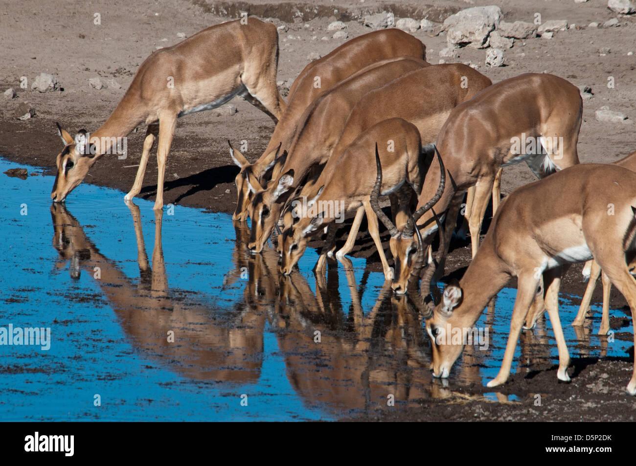 Group of Impalas, Aepyceros melampus, drinking at a waterhole in Etosha National Park, Namibia, Africa Stock Photo