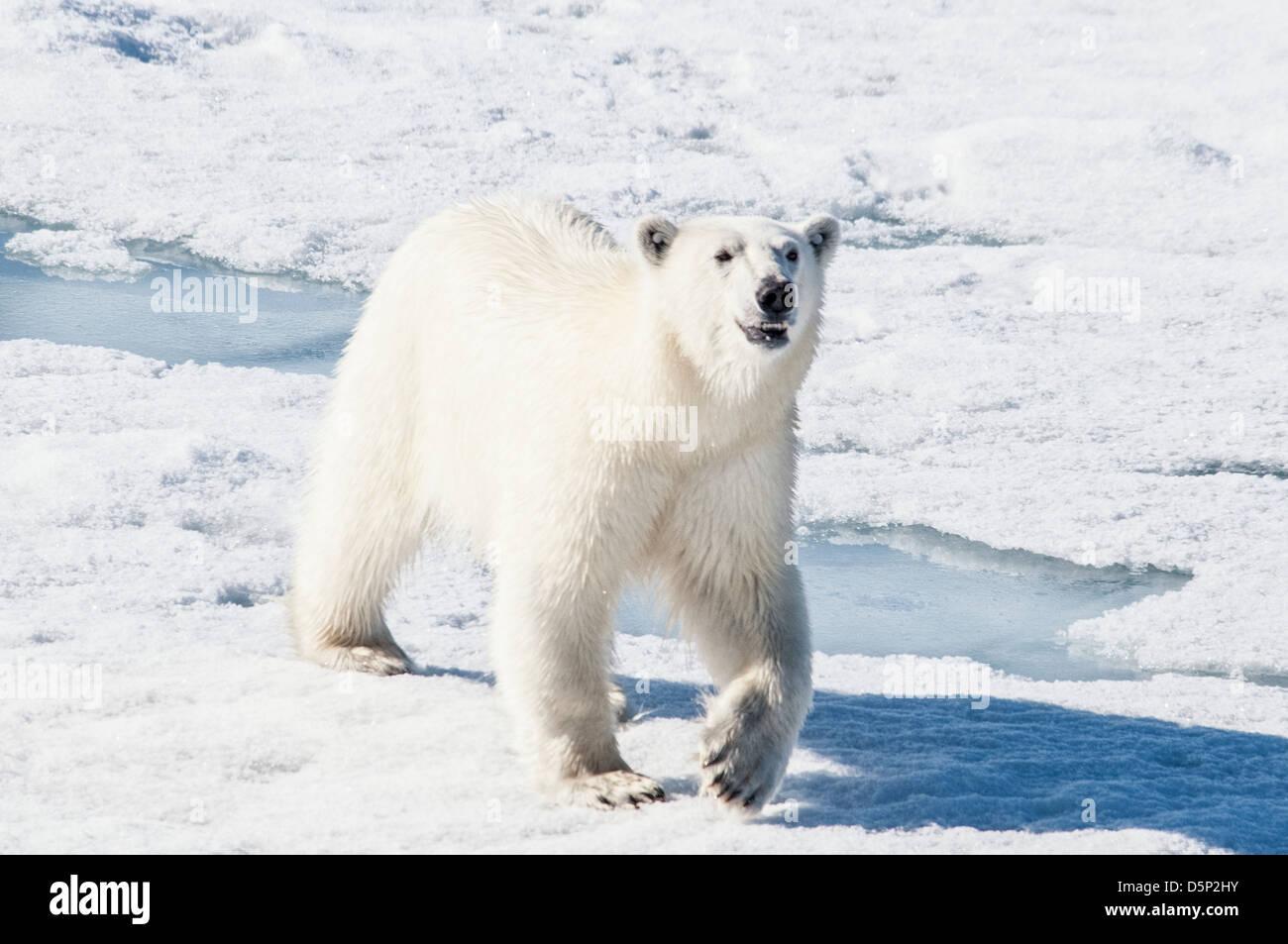 Young adult tagged Polar Bear, Ursus maritimus, walking on pack ice, Bjornsundet, Svalbard Archipelago, Norway Stock Photo