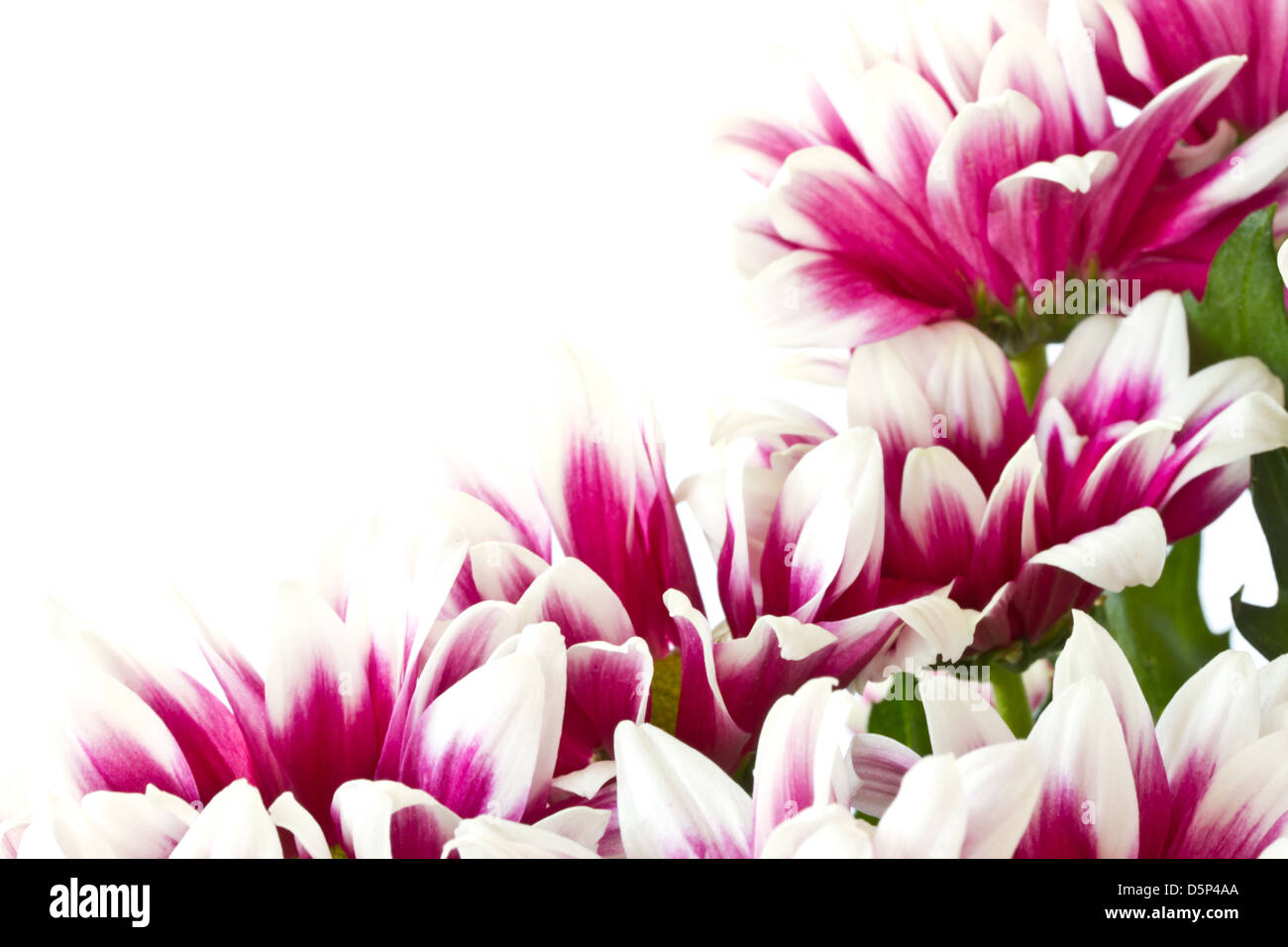 Beautiful multi colored flowers on a white background stock photo beautiful multi colored flowers on a white background mightylinksfo