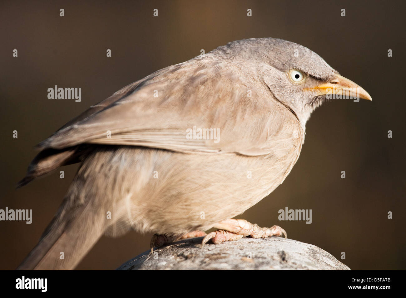 Fat angry bird - Stock Image