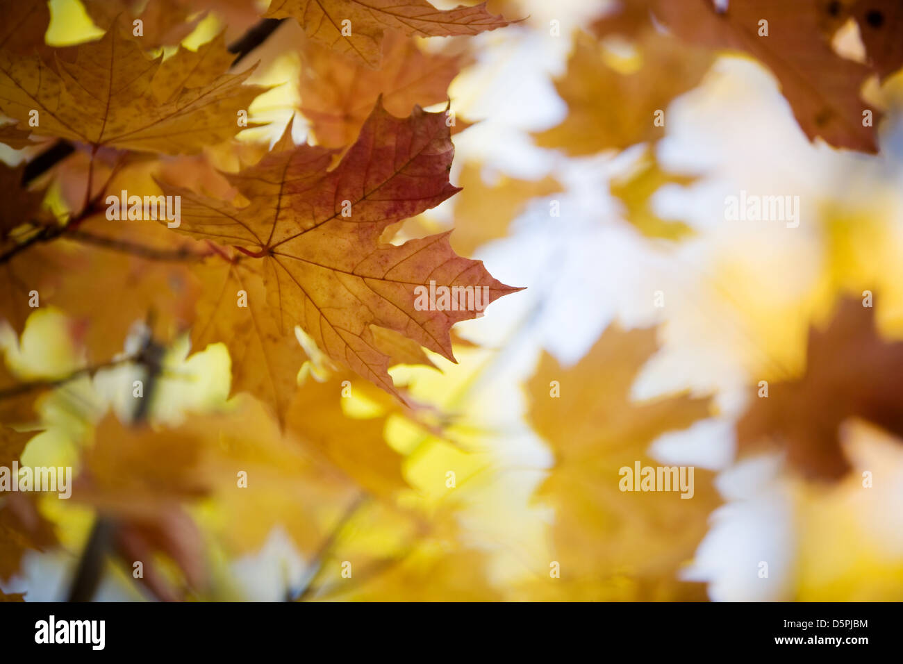 Close-up of maple tree in beautiful autumn colors - Stock Image