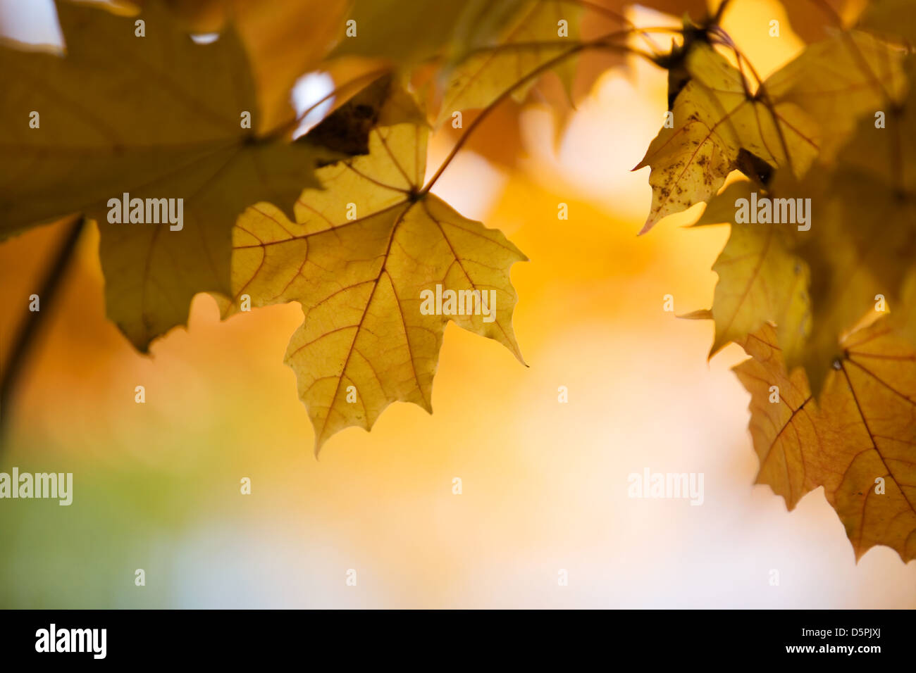 Maple tree in beautiful autumn colors - Stock Image