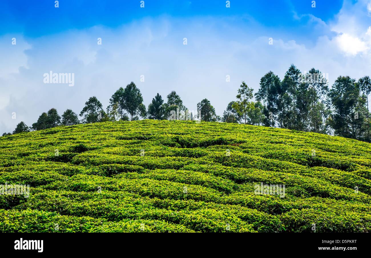 Landscape of the tea plantations in India, Kerala Munnar. - Stock Image