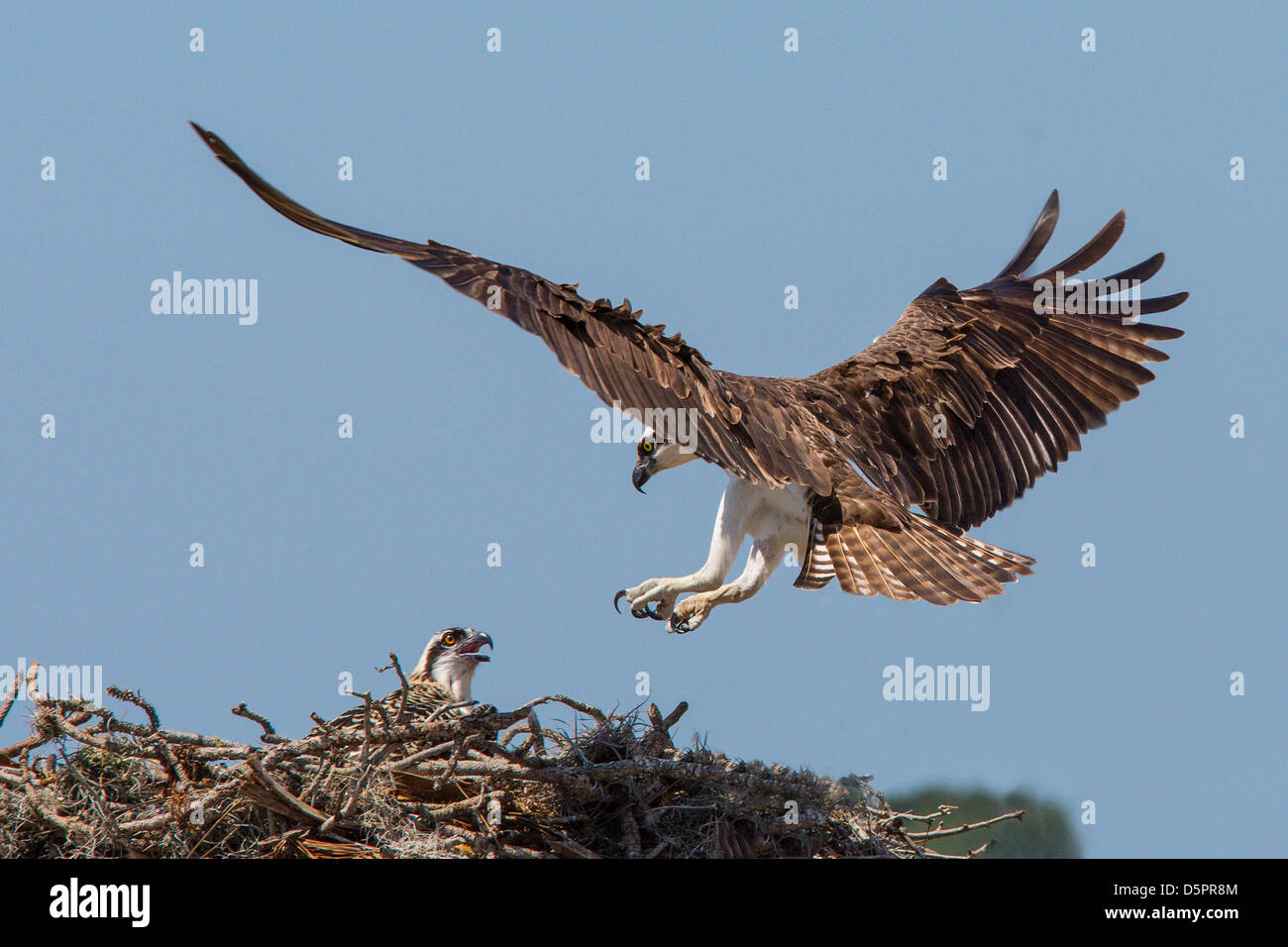Osprey returning to nest with young Osprey in nest in Venice Florida - Stock Image