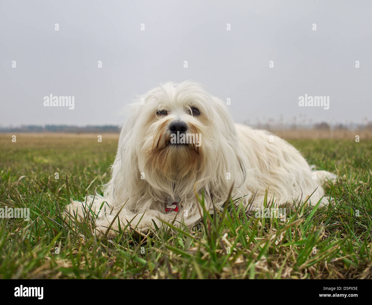 A Small White Long Haired Dog Lying In A Meadow Stock Photo