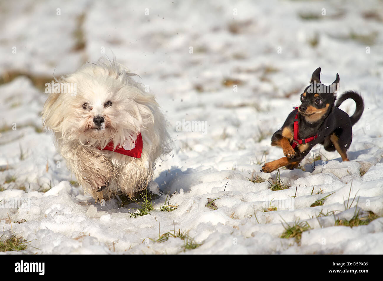 2 dogs playing in the snow, Havanese with red neckerchief and the Pinscher with red harness. - Stock Image