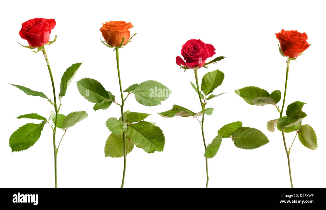 Four colorful roses on white isolated background - Stock Image
