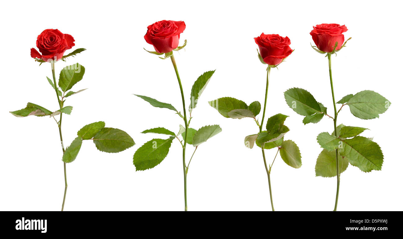 Four red roses on white isolated background - Stock Image