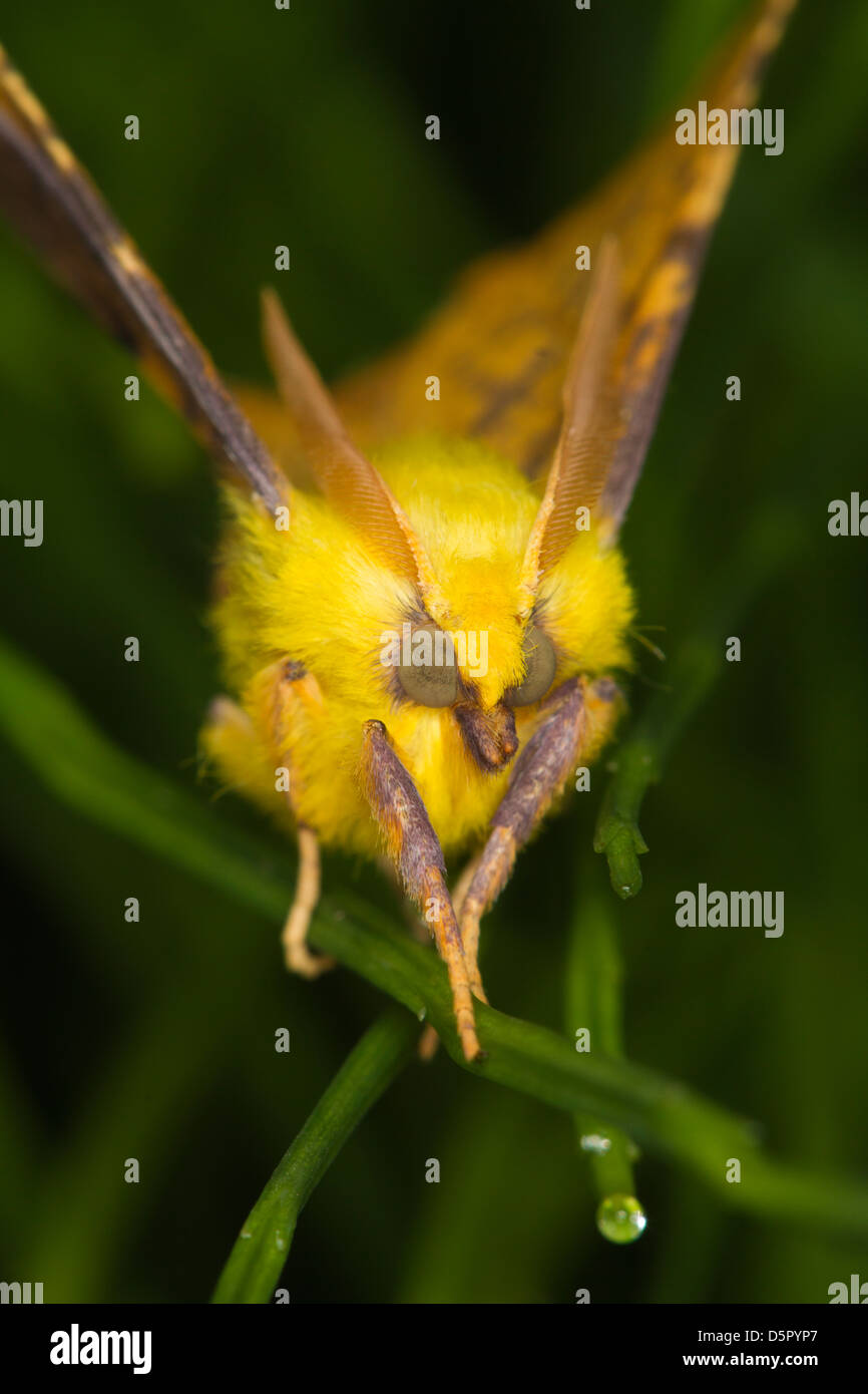 Canary-shouldered Thorn (Ennomos alniaria) - Stock Image