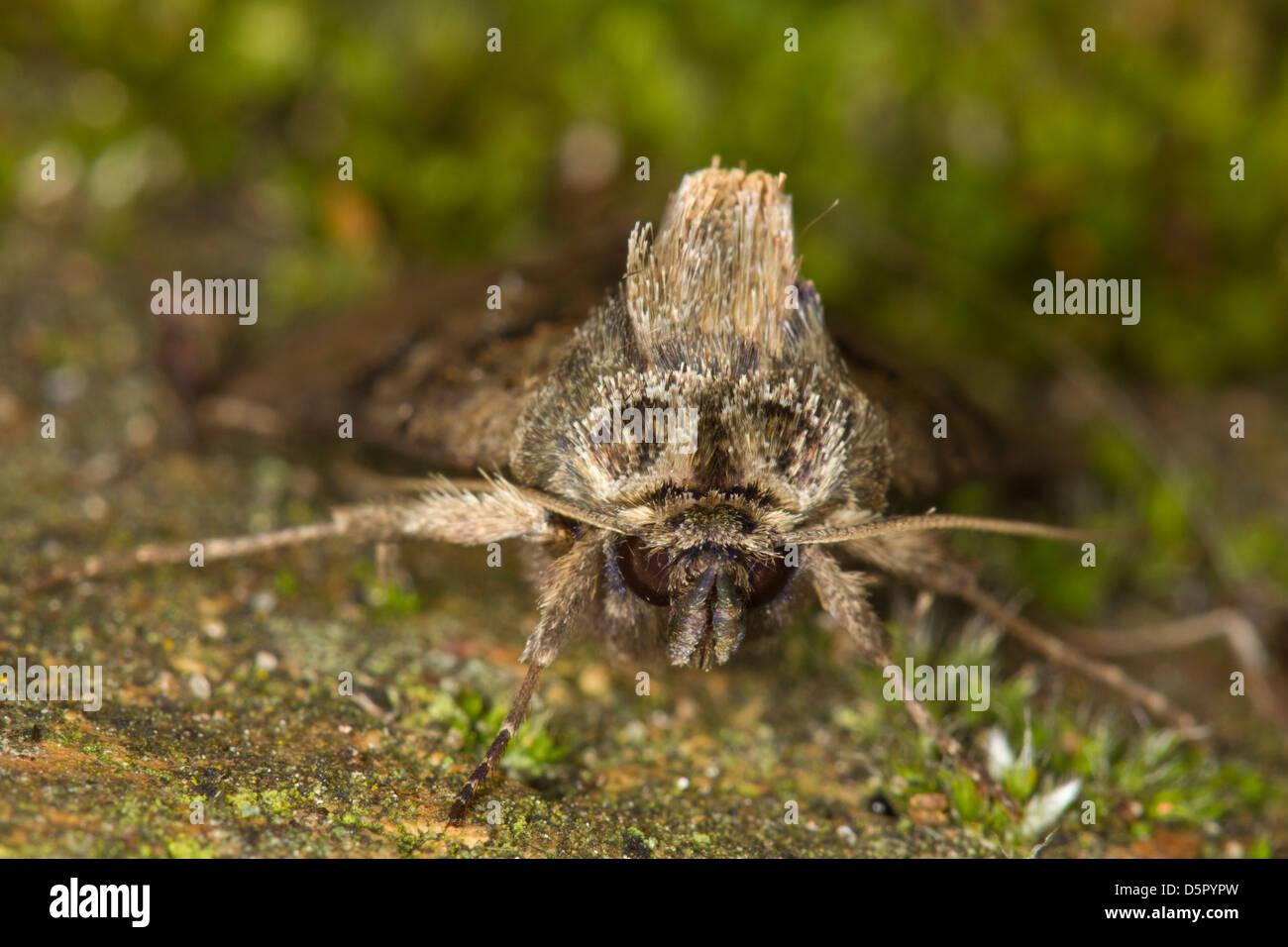 The Spectacle (Abrostola tripartita) - Stock Image