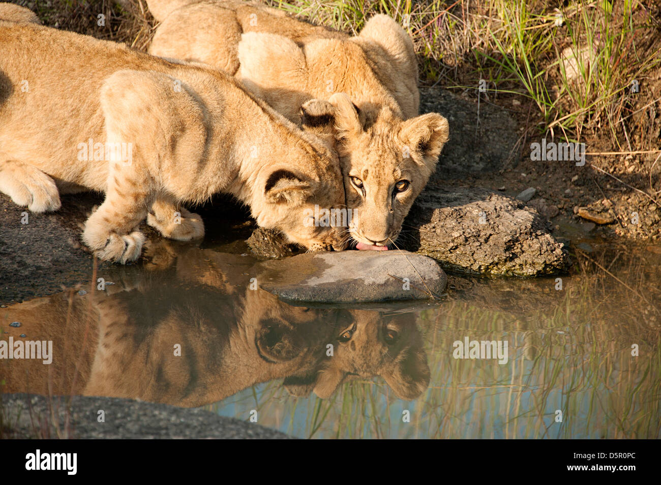 Two lion cubs drinking in Antelope Park, Zimbabwe Stock Photo