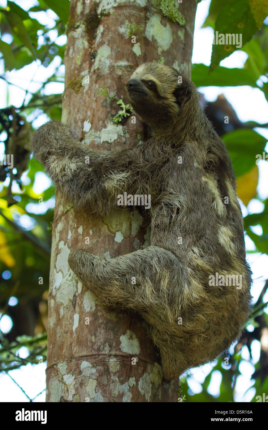 Brown-throated 3-toed Sloth (Bradypus variegatus) on a tree trunk Stock Photo