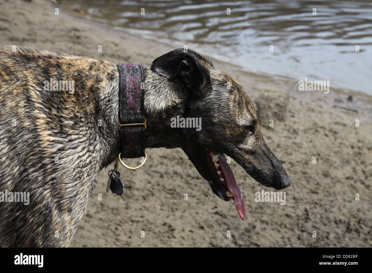 A wet, panting dog standing on a river bank. - Stock Image