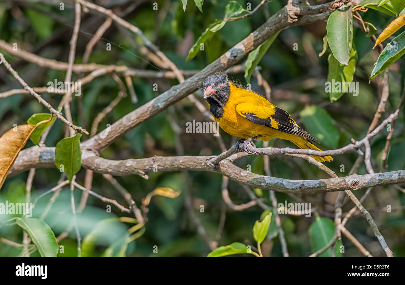 Bird, Black-hooded Oriole, perched, tree, covered with spider web - Stock Image