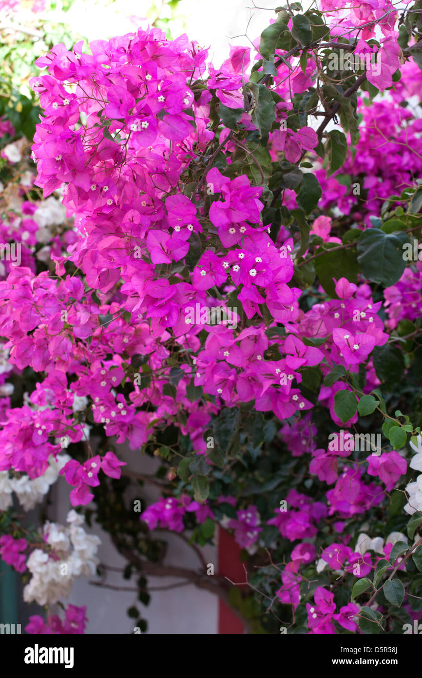 bougainvillea,Greece,plant - Stock Image