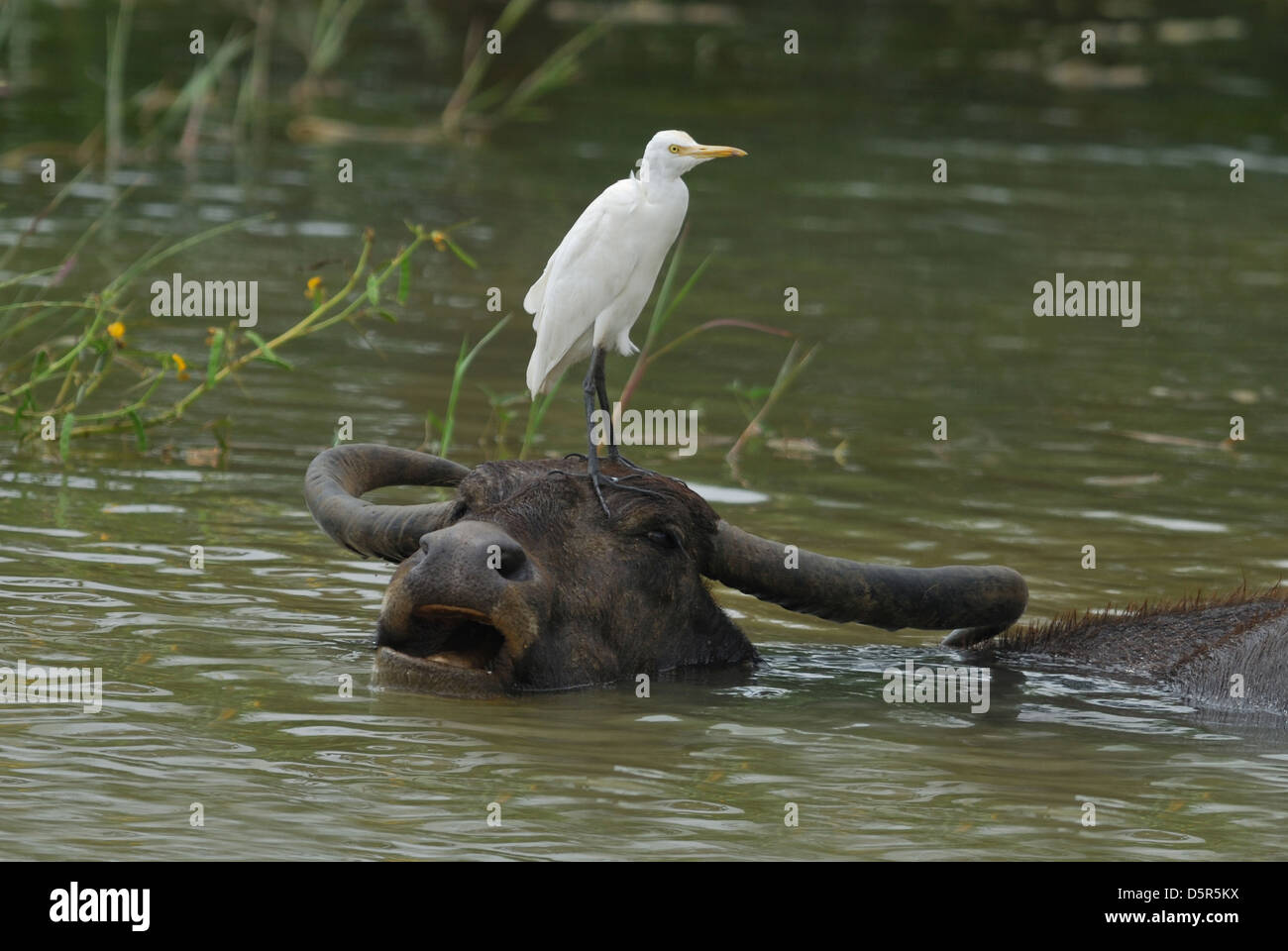 Cattle Egret standing on a Water Buffalo's head, Sri Lanka Stock Photo