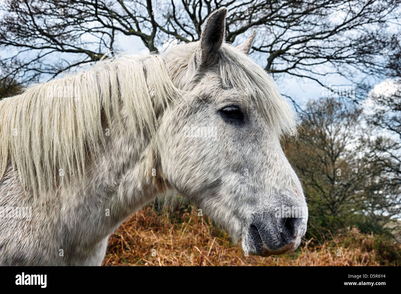 A white stallion pony in the New Forest National Park in Hampshire - Stock Image