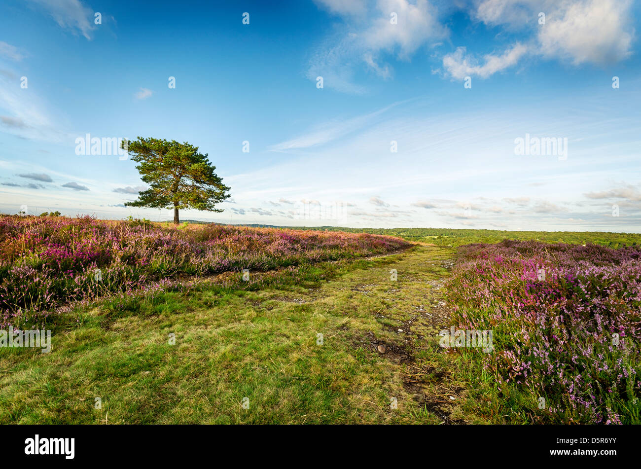 Scots pine tree beside a track on Rockford Common in the New Forest National Park in Hampshire. - Stock Image