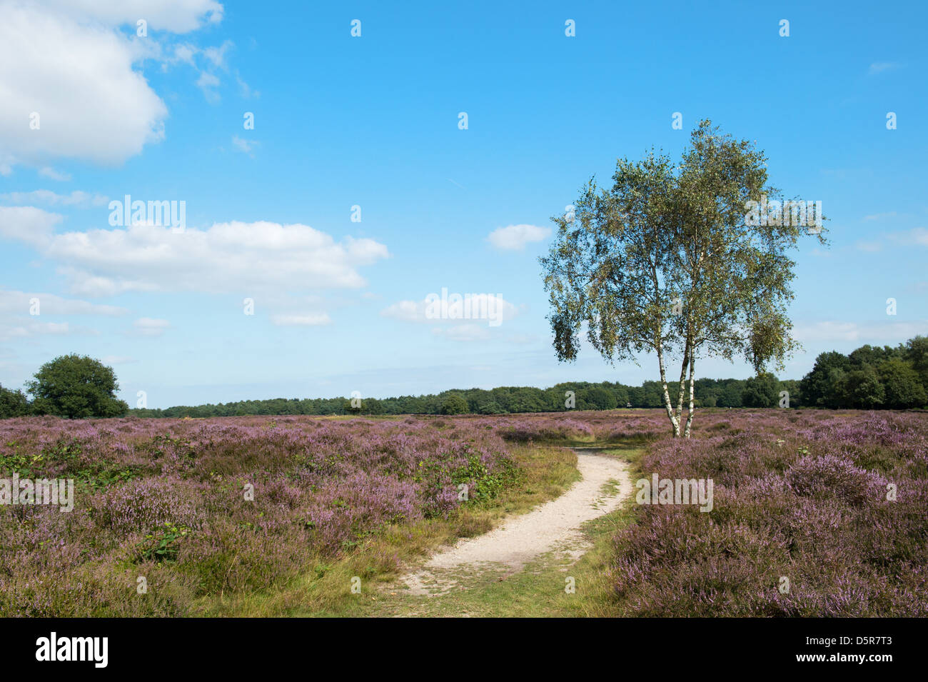 Landscape with flowering heather plants Stock Photo