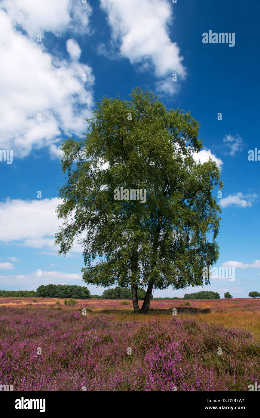 heather fields with birch in Holland Stock Photo