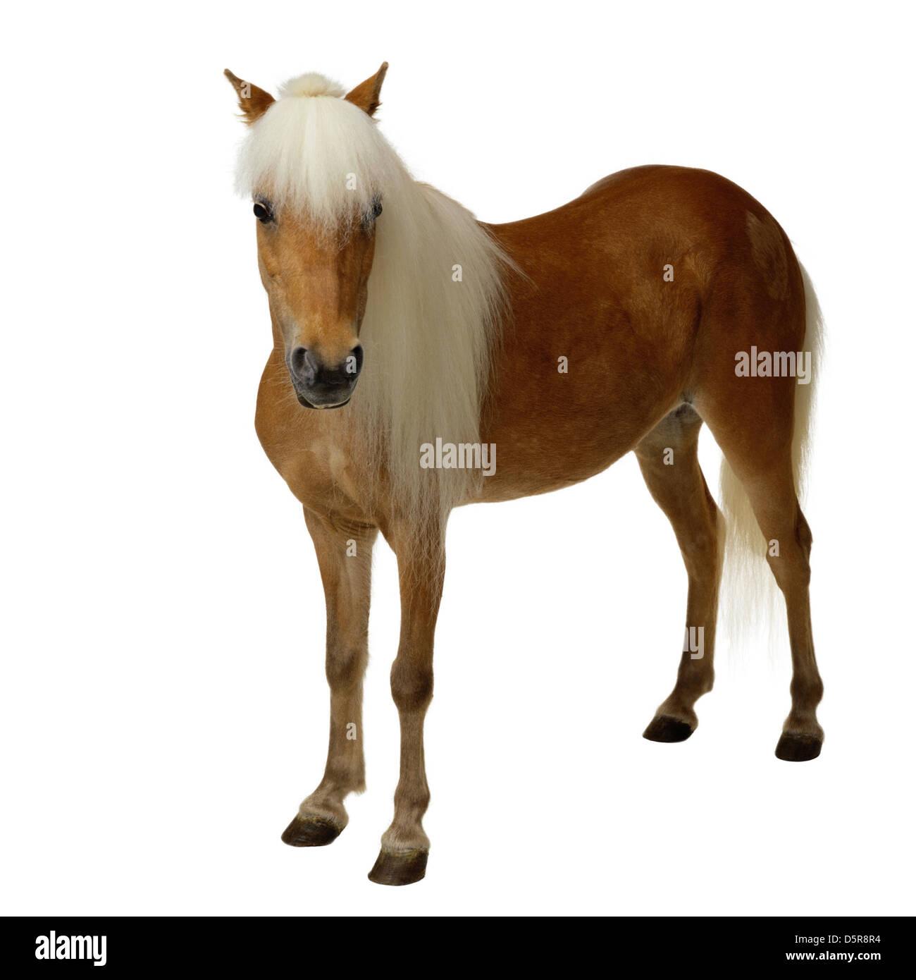 Horse isolated on white - Stock Image