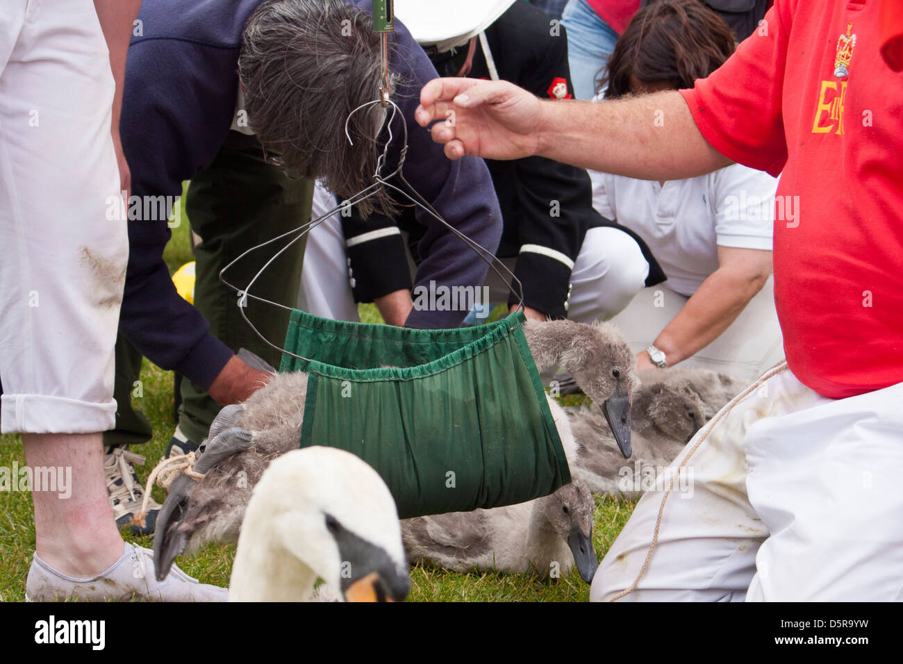 A member of The Queen's Swan Uppers weighs a cygnet as part of the annual swan upping ceremony along the river - Stock Image