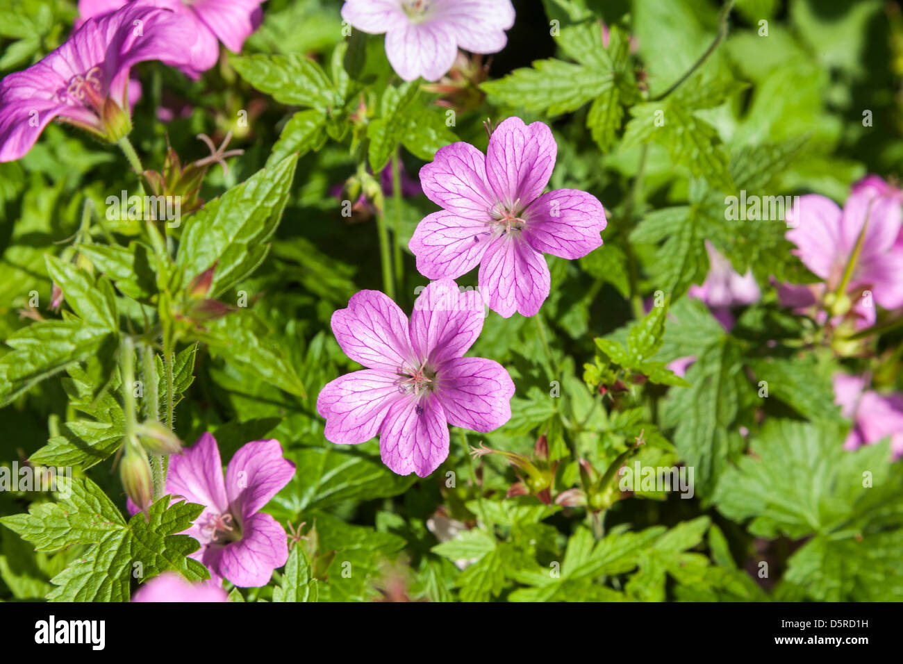 GERANIUM FLOWERS IN DOMESTIC GARDEN UK - Stock Image