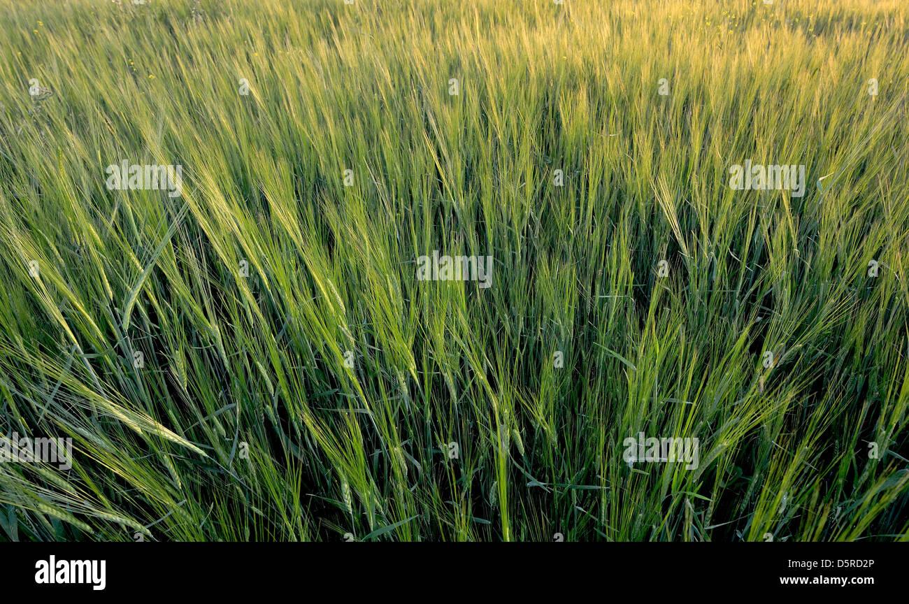 Green wheat field. - Stock Image