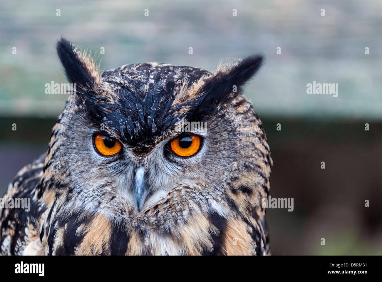 A Long-eared Owl - Asio otus - Stock Image