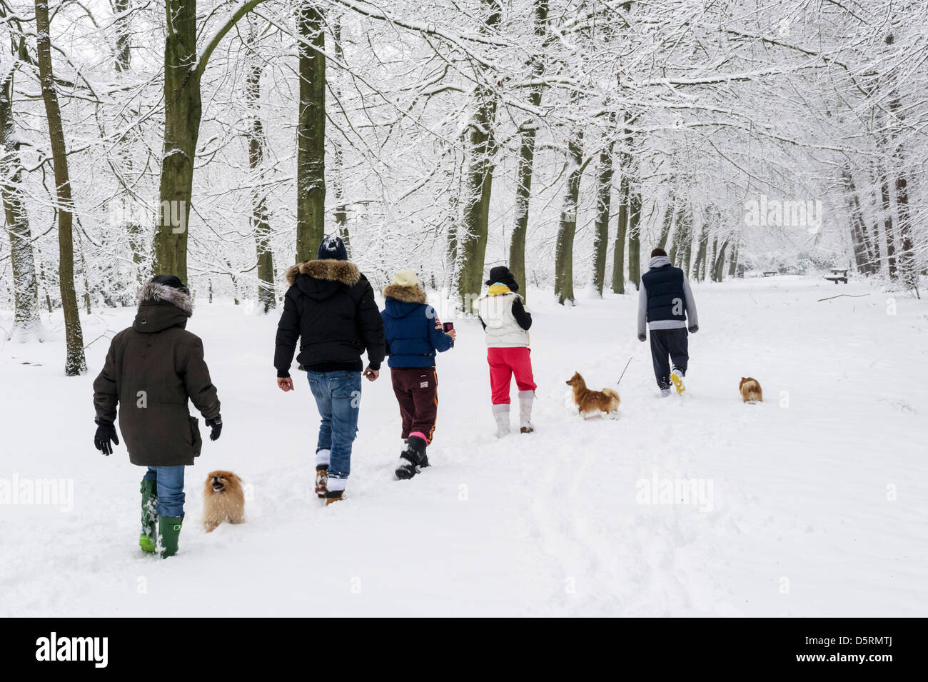 Family dog walking through snow in Thorndon Country Park, Brentwood, Essex, England, UK - Stock Image