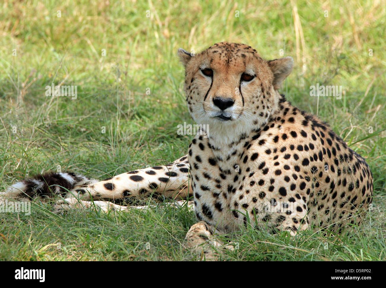 Cheetah (Acinonyx Jubatus) Lying in the Grass, Maasai Mara, Kenya - Stock Image