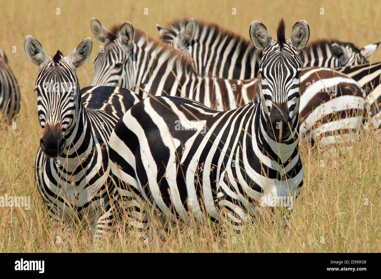Plains Zebras (Equus Quagga) in High Grass, Maasai Mara, Kenya - Stock Image