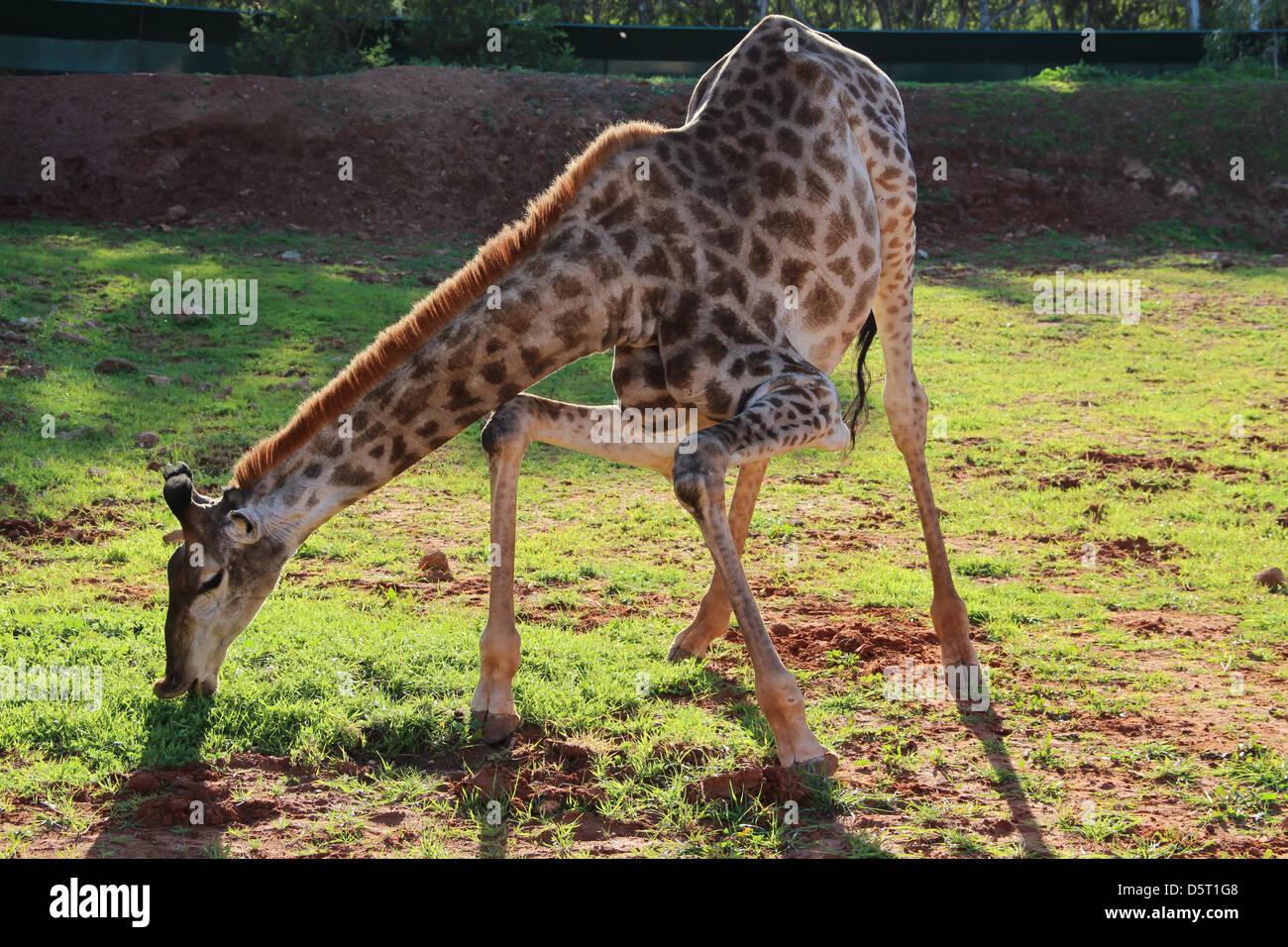 Giraffe squatting Stock Photo