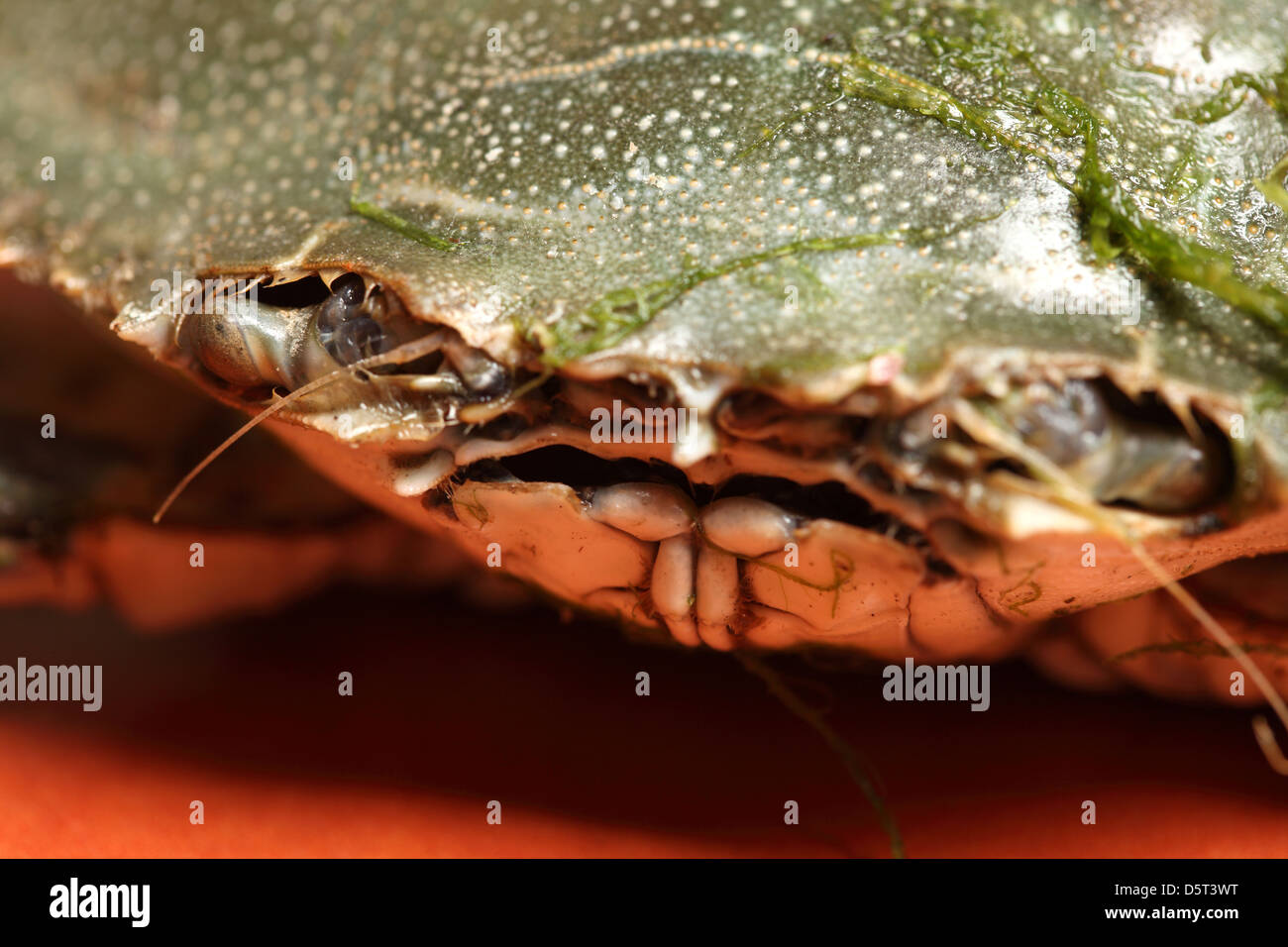 close up of a crab mouth - Stock Image