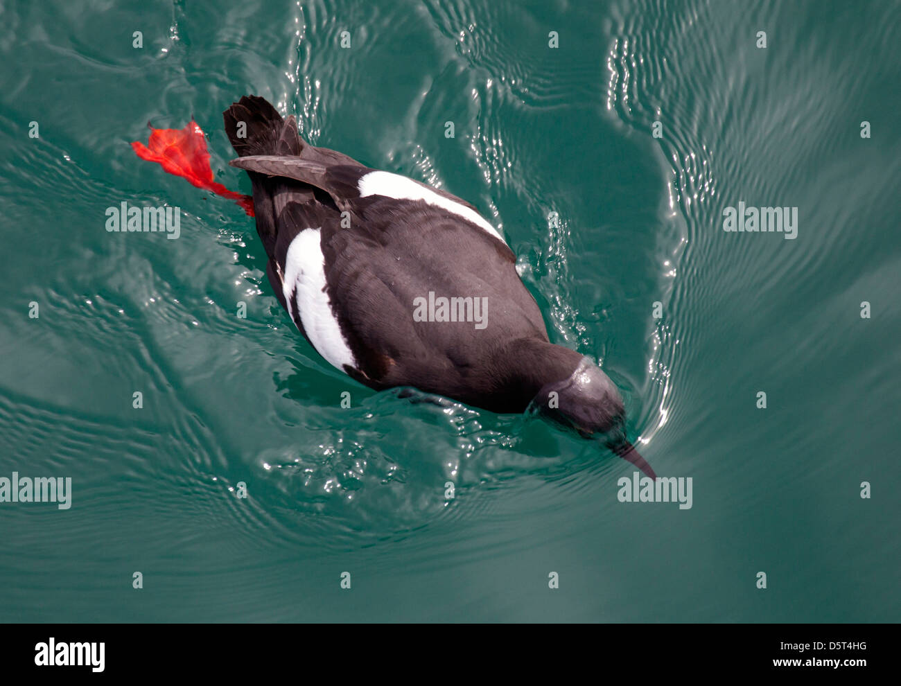 Pigeon Guillemot Peering Underwater - Stock Image