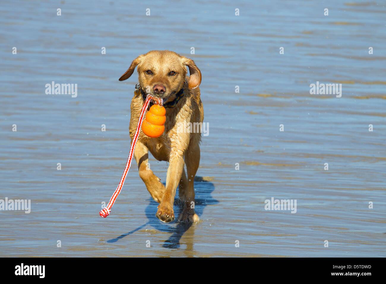 Yellow Labrador playing with ball - Stock Image