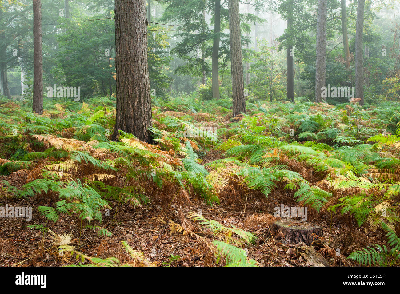 Early morning mist amongst the woodland of Harlestone Firs displaying some early autumn colours, Northamptonshire, - Stock Image