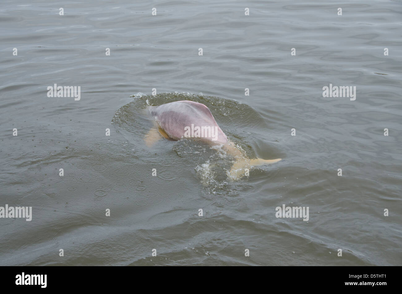 Brazil, Amazonas, Rio Tapajos, Santarem. Freshwater pink Amazon dolphin (WILD: Inia geoffrensis), endangered species. - Stock Image