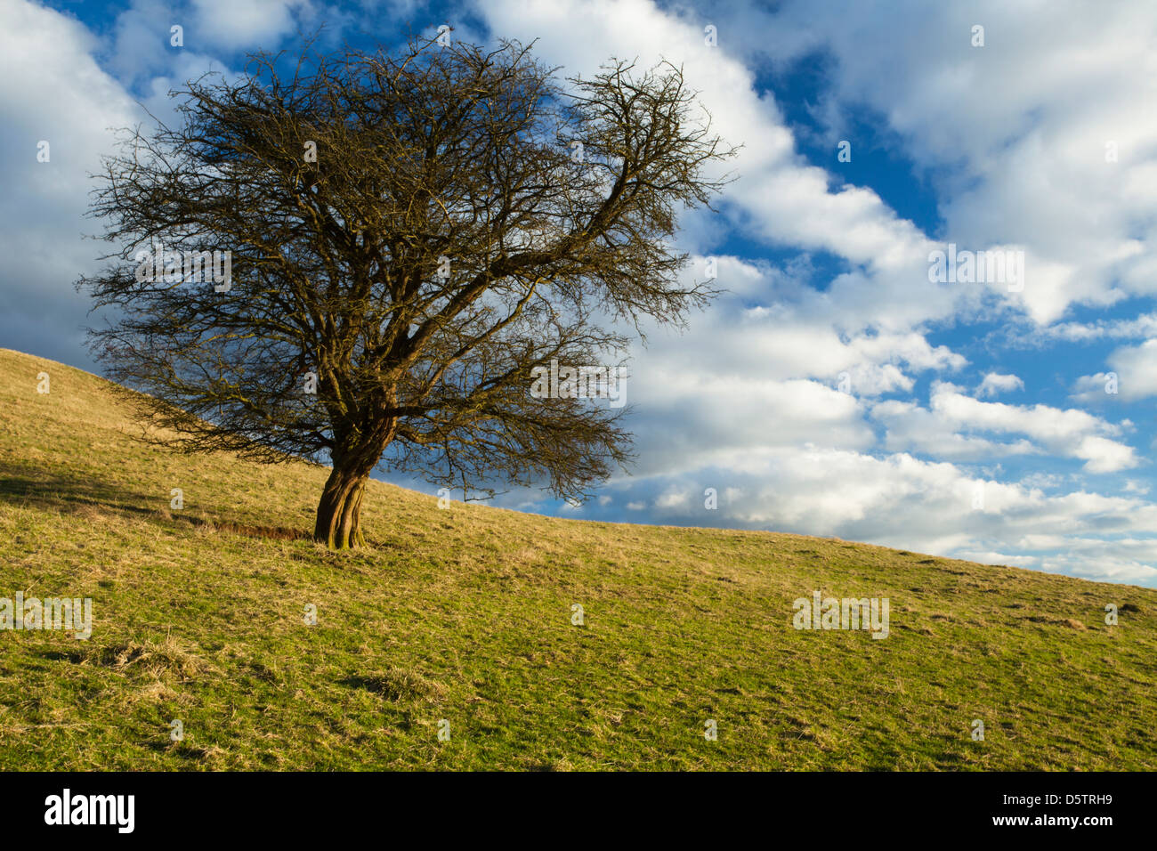 A solitary Hawthorn tree bathed in golden winter sunshine on the slopes of Honey Hill near Cold Ashby, Northamptonshire, - Stock Image