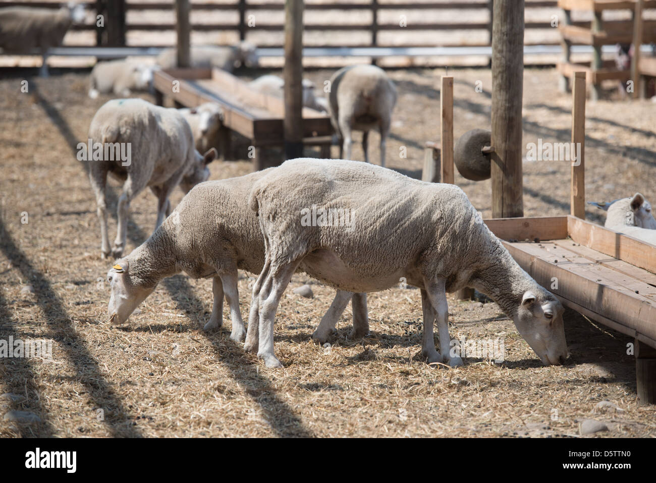 sheep ranch chat Leading provider of animal health care products, ultracruz supplements, grooming and critical care products for horses, livestock and dogs a division of santa cruz biotechnology.