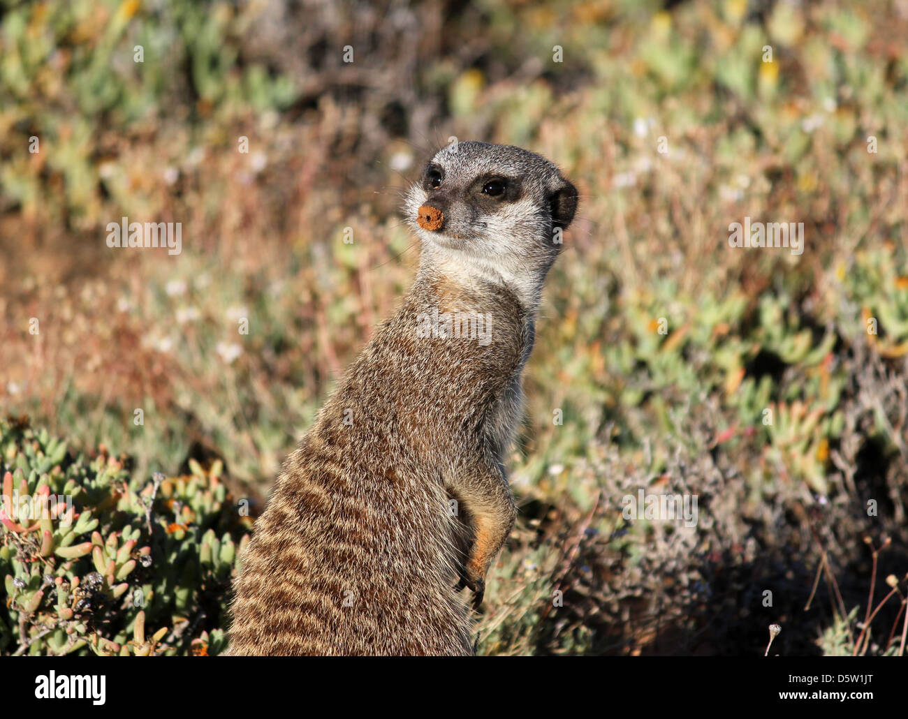 Meerkat, early morning in Little Karoo, South Africa - Stock Image